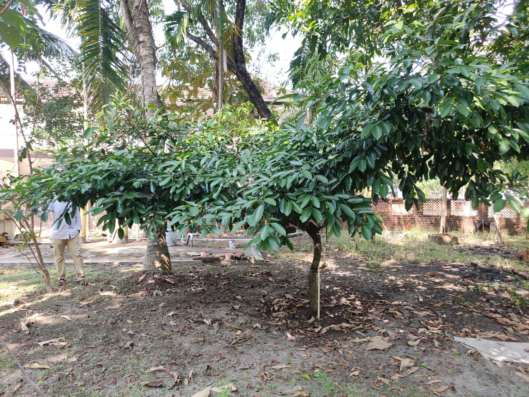 Tamarind trees are observed to have flourished in this region after the installation of the Rainwater Syringe unit. (Image by authors)