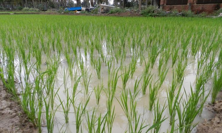 Paddy, a thirsty crop (Image Source: IWP Flickr photos)